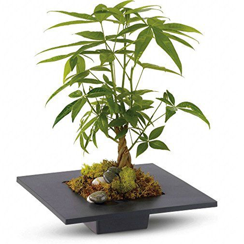 indoor plant money tree reduce stress