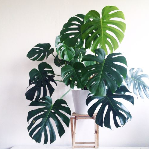 indoor plants philodendron decoration reduce stress