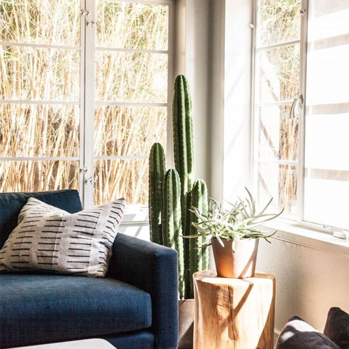 indoor plant, reduce stress, tall cactus