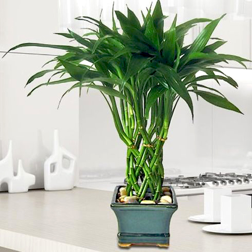 indoor plants bamboo reduce stress
