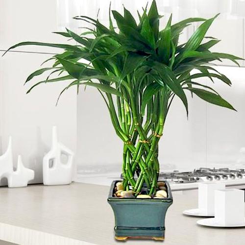 indoor plants bamboo reduce stress