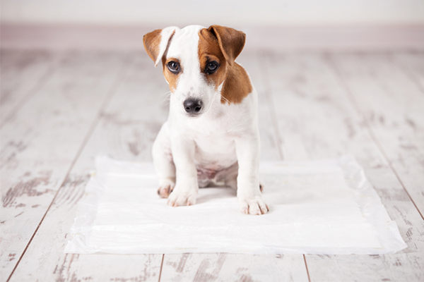 Toilet Training, pet-friendly home, dog, cute puppy