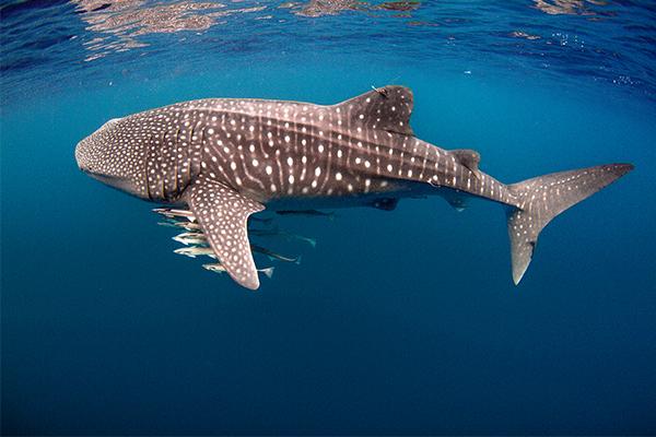 Ningaloo Reef, whale shark, snorkel, Western Australia