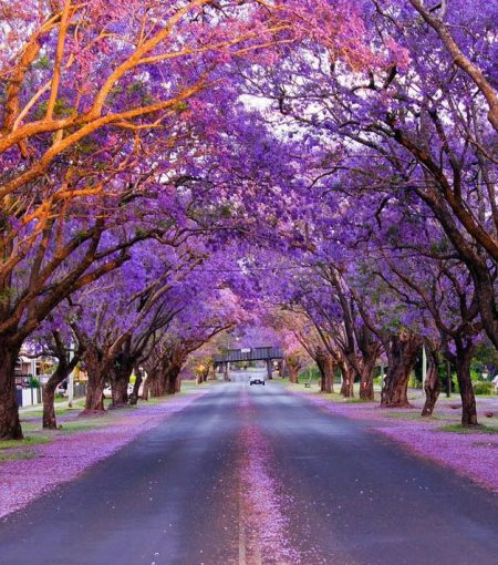 These Are The Most Insta-Worthy Spots In NSW To See The Jacaranda Trees