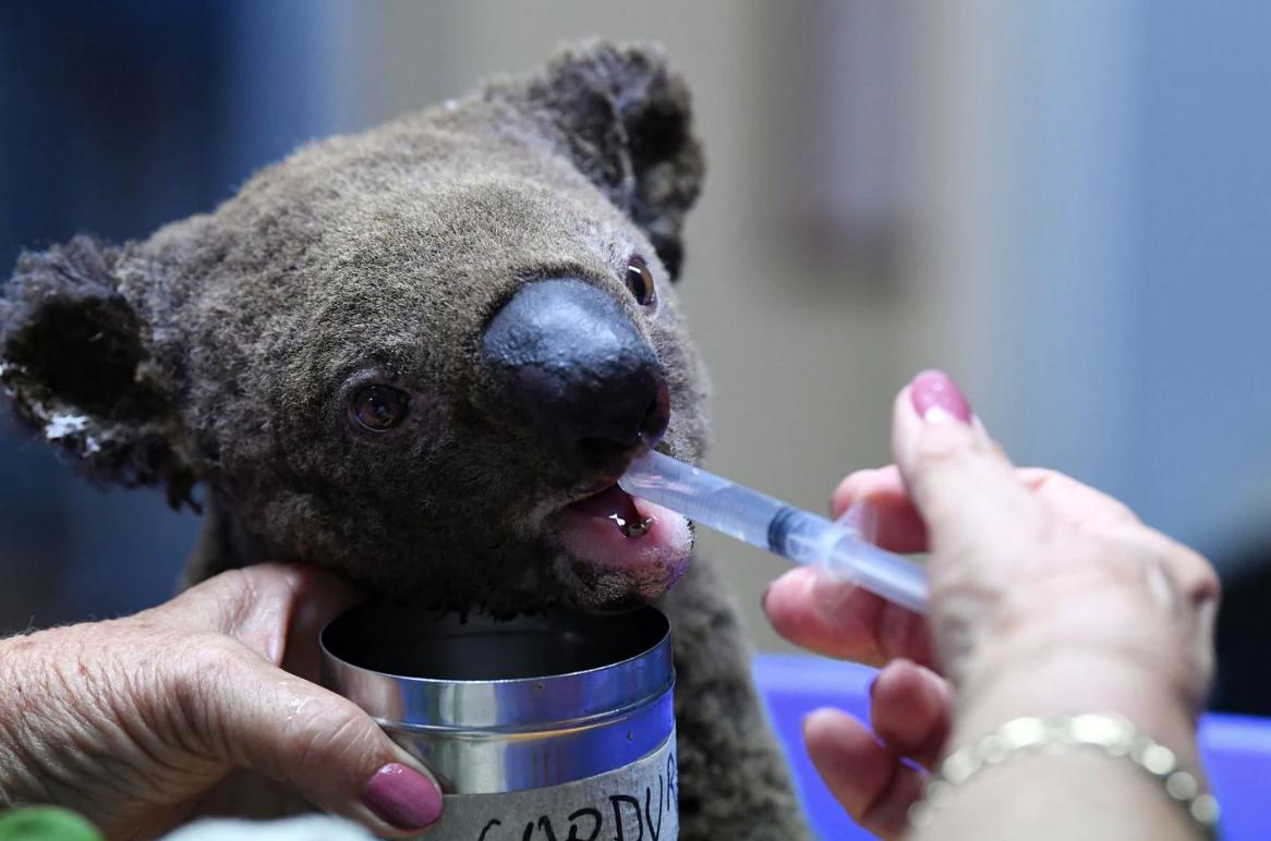 australian bushfire koalas