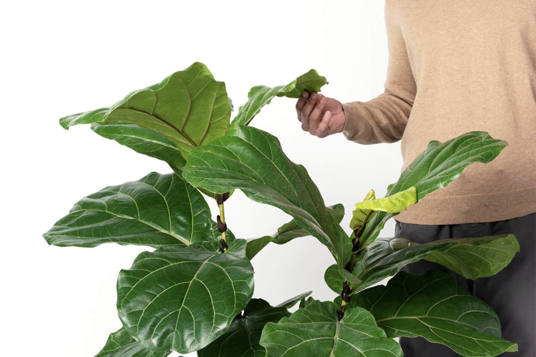 How To Keep Your Fiddle Leaf Fig Tree Alive, According To An Expert